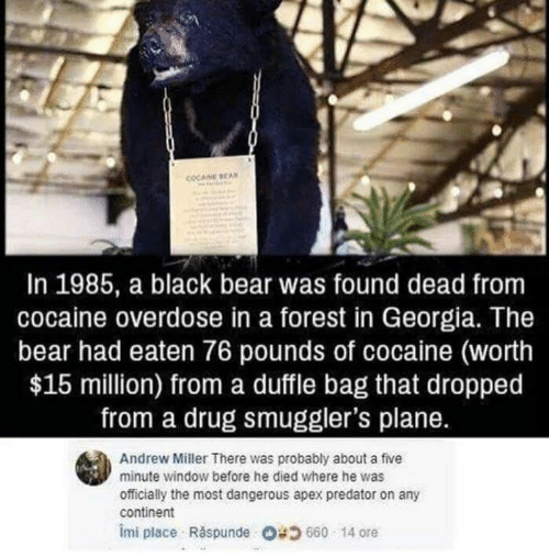 Apex, Bear, and Black: COCAINE BEAN  In 1985, a black bear was found dead from  cocaine overdose in a forest in Georgia. The  bear had eaten 76 pounds of cocaine (worth  $15 million) from a duffle bag that dropped  from a drug smuggler's plane.  Andrew Miller There was probably about a five  minute window before he died where he was  officially the most dangerous apex predator on any  continent  imi place Răspunde Og 660 . 14 ore