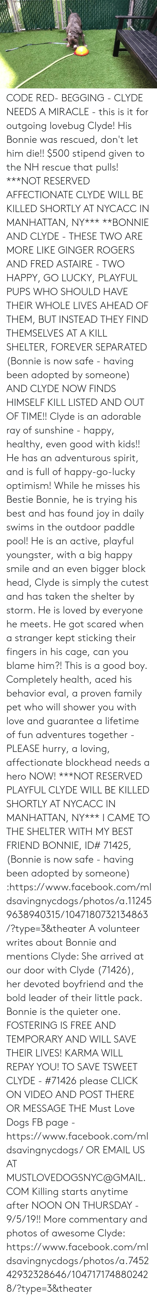 Best Friend, Click, and Dogs: CODE RED- BEGGING - CLYDE NEEDS A MIRACLE - this is it for outgoing lovebug Clyde! His Bonnie was rescued, don't let him die!!  $500 stipend given to the NH rescue that pulls!  ***NOT RESERVED AFFECTIONATE CLYDE WILL BE KILLED SHORTLY AT NYCACC IN MANHATTAN, NY***  **BONNIE AND CLYDE - THESE TWO ARE MORE LIKE GINGER ROGERS AND FRED ASTAIRE - TWO HAPPY, GO LUCKY, PLAYFUL PUPS WHO SHOULD HAVE THEIR WHOLE LIVES AHEAD OF THEM, BUT INSTEAD THEY FIND THEMSELVES AT A KILL SHELTER, FOREVER SEPARATED (Bonnie is now safe - having been adopted by someone) AND CLYDE NOW FINDS HIMSELF KILL LISTED AND OUT OF TIME!!   Clyde is an adorable ray of sunshine - happy, healthy, even good with kids!! He has an adventurous spirit, and is full of happy-go-lucky optimism!  While he misses his Bestie Bonnie, he is trying his best and has found joy in daily swims in the outdoor paddle pool! He is an active, playful youngster, with a big happy smile and an even bigger block head,  Clyde is simply the cutest and has taken the shelter by storm.  He is loved by everyone he meets.  He got scared when a stranger kept sticking their fingers in his cage, can you blame him?! This is a good boy.  Completely health, aced his behavior eval, a proven family pet who will shower you with love and guarantee a lifetime of fun adventures together - PLEASE hurry, a loving, affectionate blockhead needs a hero NOW! ***NOT RESERVED PLAYFUL CLYDE WILL BE KILLED SHORTLY AT NYCACC IN MANHATTAN, NY***  I CAME TO THE SHELTER WITH MY BEST FRIEND BONNIE, ID# 71425, (Bonnie is now safe - having been adopted by someone) :https://www.facebook.com/mldsavingnycdogs/photos/a.112459638940315/1047180732134863/?type=3&theater  A volunteer writes about Bonnie and mentions Clyde:  She arrived at our door with Clyde (71426), her devoted boyfriend and the bold leader of their little pack. Bonnie is the quieter one.  FOSTERING IS FREE AND TEMPORARY AND WILL SAVE THEIR LIVES! KARMA WILL REPAY YOU!  TO SAVE