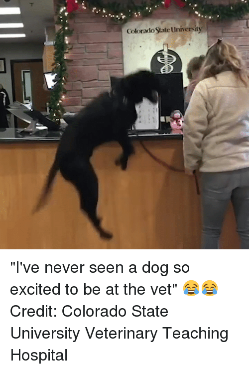 "Veterinary: Colorado State University ""I've never seen a dog so excited to be at the vet"" 😂😂  Credit: Colorado State University Veterinary Teaching Hospital"