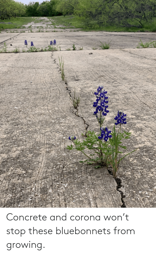 concrete: Concrete and corona won't stop these bluebonnets from growing.