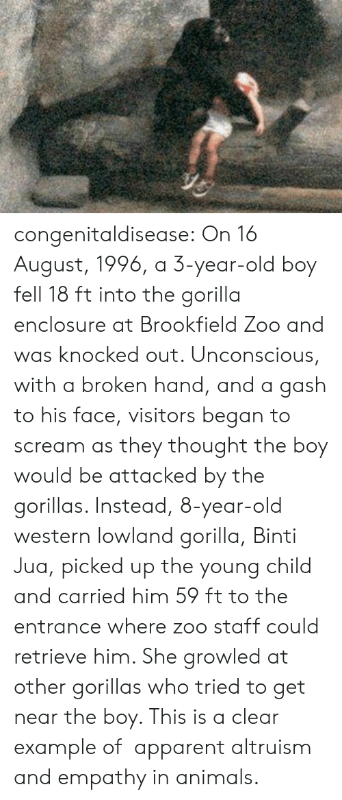 apparent: congenitaldisease: On 16 August, 1996, a 3-year-old boy fell 18 ft into the gorilla enclosure at Brookfield Zoo and was knocked out. Unconscious, with a broken hand, and a gash to his face, visitors began to scream as they thought the boy would be attacked by the gorillas. Instead, 8-year-old western lowland gorilla, Binti Jua, picked up the young child and carried him 59 ft to the entrance where zoo staff could retrieve him. She growled at other gorillas who tried to get near the boy. This is a clear example of   apparent altruism and empathy in animals.