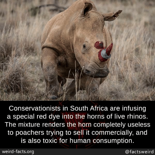 horns: Conservationists in South Africa are infusing  a special red dye into the horns of live rhinos.  The mixture renders the horn completely useless  to poachers trying to sell it commercially, and  is also toxic for human consumption  weird-facts.org  @factsweird