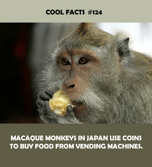 vending machines: COOL FACTS #124  MACAQUE MONKEYS IN JAPAN USE COINS  TO BUY FOOD FROM VENDING MACHINES.