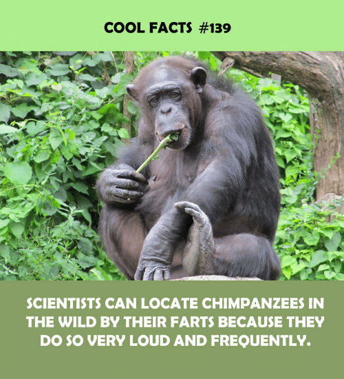 Facts, Cool, and Wild: COOL FACTS #139  SCIENTISTS CAN LOCATE CHIMPANZEES IN  THE WILD BY THEIR FARTS BECAUSE THEY  DO SO VERY LOUD AND FREQUENTLY.