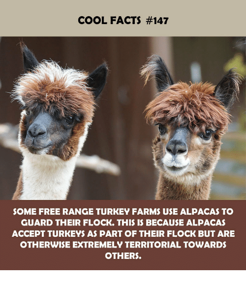 Facts, Cool, and Free: COOL FACTS #147  SOME FREE RANGE TURKEY FARMS USE ALPACAS TO  GUARD THEIR FLOCK. THIS IS BECAUSE ALPACAS  ACCEPT TURKEYS AS PART OF THEIR FLOCK BUT ARE  OTHERWISE EXTREMELY TERRITORIAL TOWARDS  OTHERS.