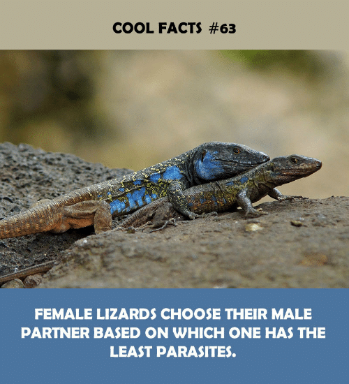 Facts, Cool, and One: COOL FACTS #63  FEMALE LIZARDS CHOOSE THEIR MALE  PARTNER BASED ON WHICH ONE HAS THE  LEAST PARASITES