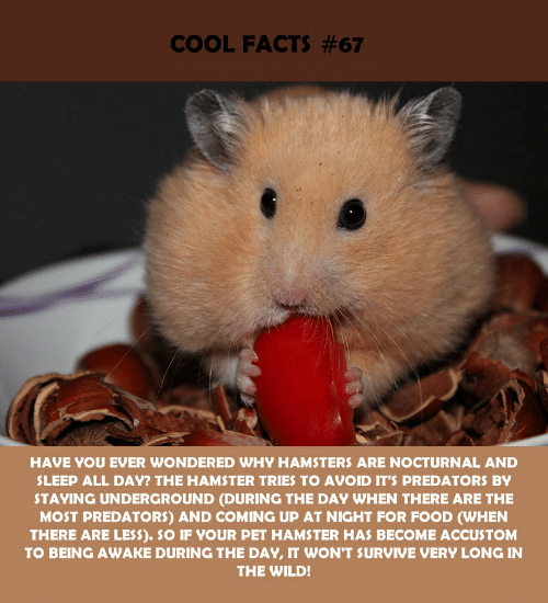 Facts, Food, and Cool: COOL FACTS #67  HAVE YOU EVER WONDERED WHY HAMSTERS ARE NOCTURNAL AND  SLEEP ALL DAY? THE HAMSTER TRIES TO AVOID IT'S PREDATORS BY  STAYING UNDERGROUND (DURING THE DAY WHEN THERE ARE THE  MOST PREDATORS) AND COMING UP AT NIGHT FOR FOOD (WHEN  THERE ARE LESS). SO IF YOUR PET HAMSTER HAS BECOME ACCUSTOM  TO BEING AWAKE DURING THE DAY, IT WON'T SURVIVE VERY LONG IN  THE WILD!
