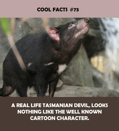 Facts, Life, and Devil: COOL FACTS #73  A REAL LIFE TASMANIAN DEVIL, LOOKS  NOTHING LIKE THE WELL KNOWN  CARTOON CHARACTER.