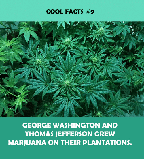 Facts, Thomas Jefferson, and Cool: COOL FACTS #9  GEORGE WASHINGTON AND  THOMAS JEFFERSON GREW  MARJUANA ON THEIR PLANTATIONS.