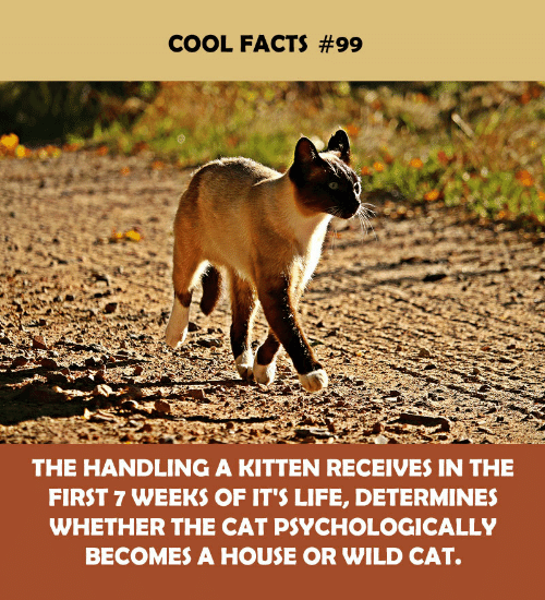 Facts, Life, and Cool: COOL FACTS #99  THE HANDLING A KITTEN RECEIVES IN THE  FIRST 7 WEEKS OF IT'S LIFE, DETERMINES  WHETHER THE CAT PSYCHOLOGICALLY  BECOMES A HOUSE OR WILD CAT.