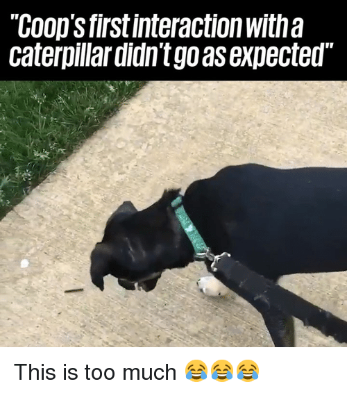 This Is Too Much: COop's firstinteraction with a  caterpillar didn't go as expected This is too much 😂😂😂