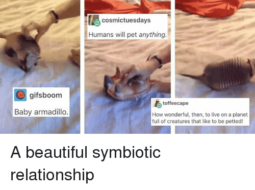 armadillo: cosmictuesdays  Humans will pet anything  gifsboom  toffeecape  Baby armadillo  How wonderful, then, to live on a planet  full of creatures that like to be petted! A beautiful symbiotic relationship