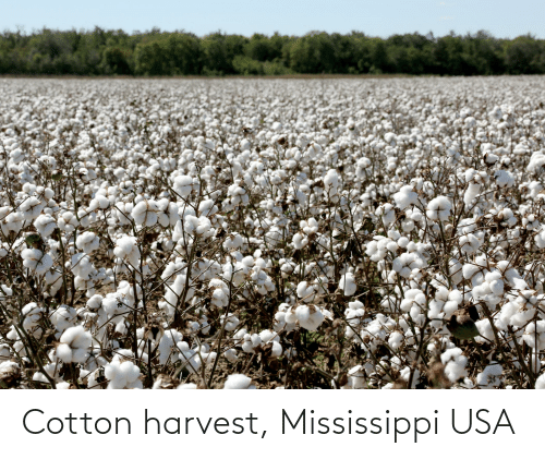 Mississippi: Cotton harvest, Mississippi USA