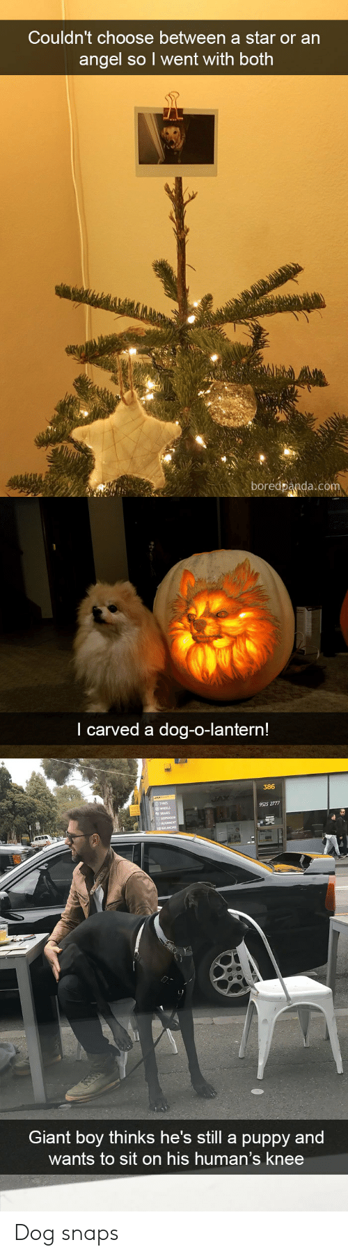 Carved: Couldn't choose between a star or an  angel so l went with both  boredpanda.com   I carved a dog-o-lantern!   386  TYRES  9525 2777  HEELS  Giant boy thinks he's still a puppy and  wants to sit on his human's knee Dog snaps
