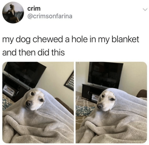 Dog, Hole, and Did: crim  @crimsonfarina  my dog chewed a hole in my blanket  and then did this