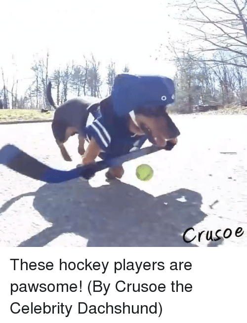 dachshunds: Crusoe These hockey players are pawsome! (By Crusoe the Celebrity Dachshund)