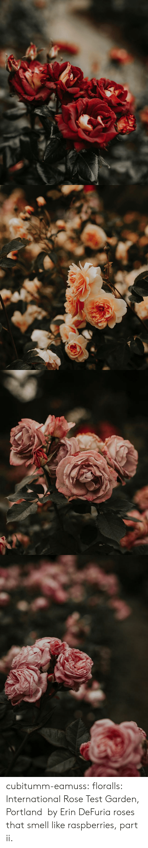 portland: cubitumm-eamuss: floralls:   International Rose Test Garden,  Portland    by  Erin DeFuria   roses that smell like raspberries, part ii.