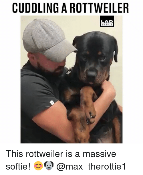 Memes, Rottweiler, and 🤖: CUDDLING A ROTTWEILER  LAD This rottweiler is a massive softie! 😊🐶 @max_therottie1