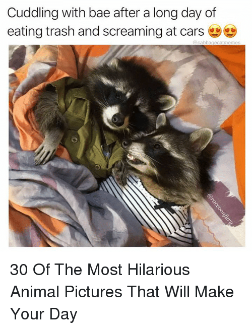 Bae, Cars, and Trash: Cuddling with bae after a long day of  eating trash and screaming at cars  @ cabbagecatmemes 30 Of The Most Hilarious Animal Pictures That Will Make Your Day