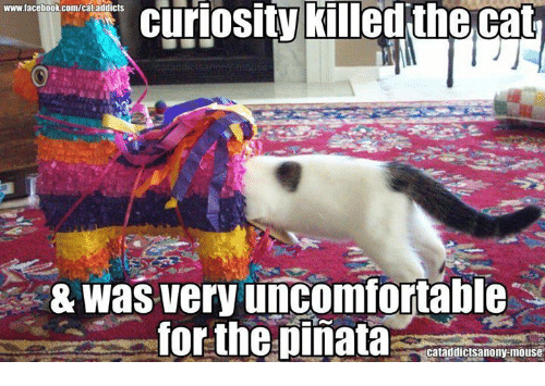 curiosity killed the cat: curiosity killed the cat  www.facebook.com/cat addicts  & was very uncomfortable  for the pinata  cataddictsanonyamouse
