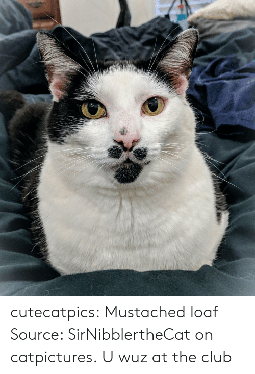 The Club: cutecatpics:  Mustached loaf Source: SirNibblertheCat on catpictures.  U wuz at the club