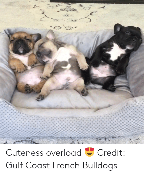 cuteness: Cuteness overload 😍  Credit: Gulf Coast French Bulldogs