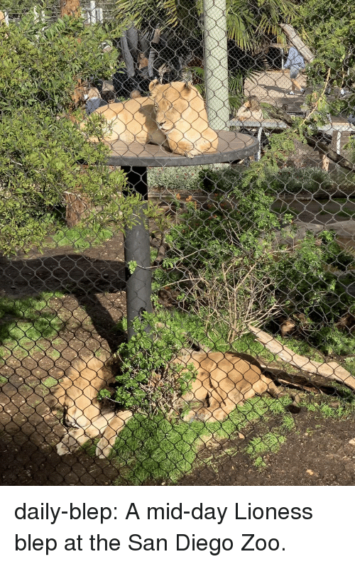 San Diego: daily-blep:  A mid-day Lioness blep at the San Diego Zoo.