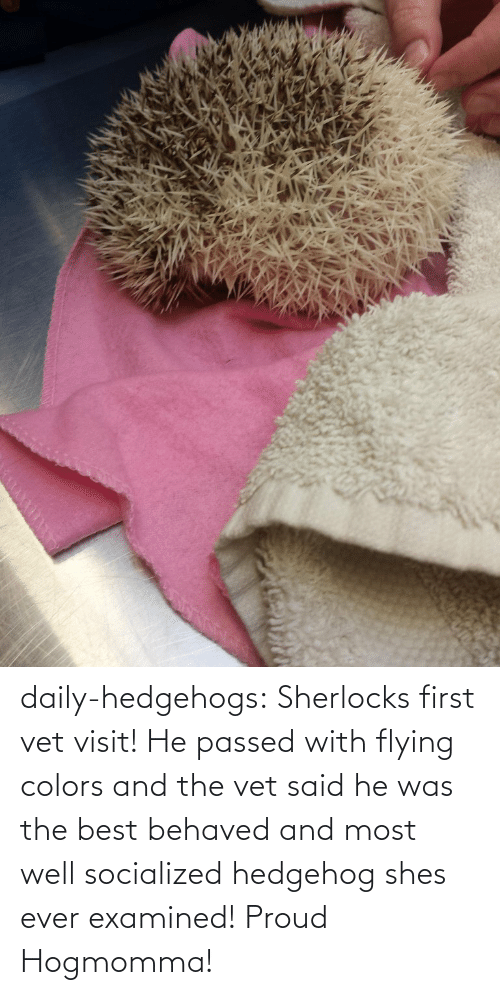 Examined: daily-hedgehogs:  Sherlocks first vet visit! He passed with flying colors and the vet said he was the best behaved and most well socialized hedgehog shes ever examined! Proud Hogmomma!