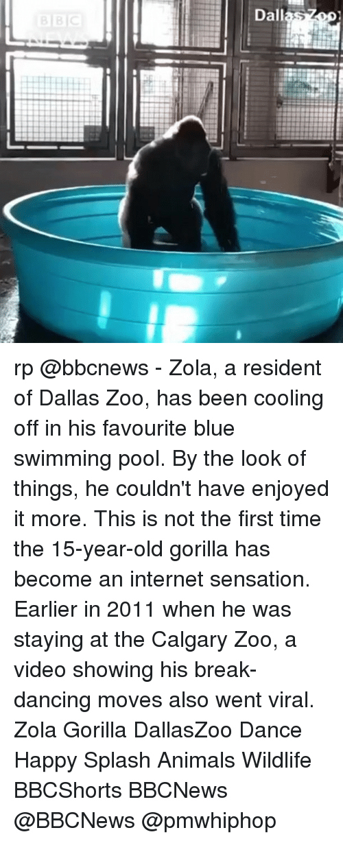 Alsoe: Dallas rp @bbcnews - Zola, a resident of Dallas Zoo, has been cooling off in his favourite blue swimming pool. By the look of things, he couldn't have enjoyed it more. This is not the first time the 15-year-old gorilla has become an internet sensation. Earlier in 2011 when he was staying at the Calgary Zoo, a video showing his break-dancing moves also went viral. Zola Gorilla DallasZoo Dance Happy Splash Animals Wildlife BBCShorts BBCNews @BBCNews @pmwhiphop