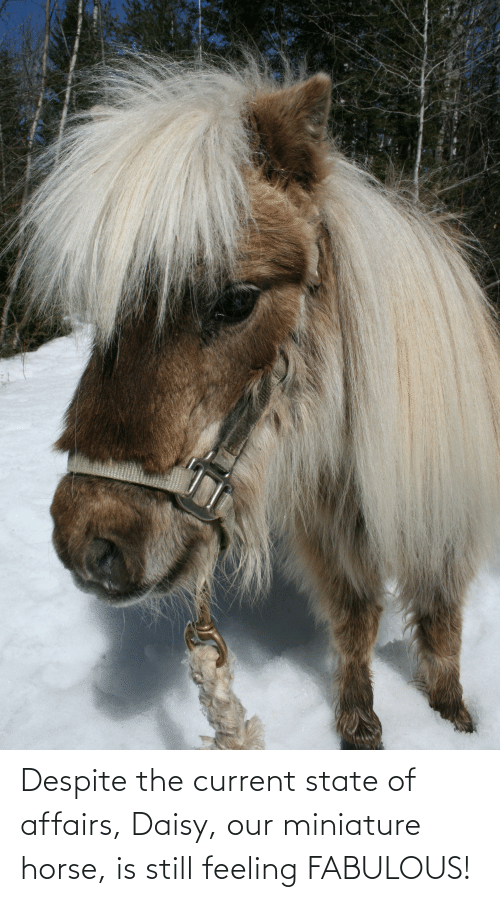 state of affairs: Despite the current state of affairs, Daisy, our miniature horse, is still feeling FABULOUS!