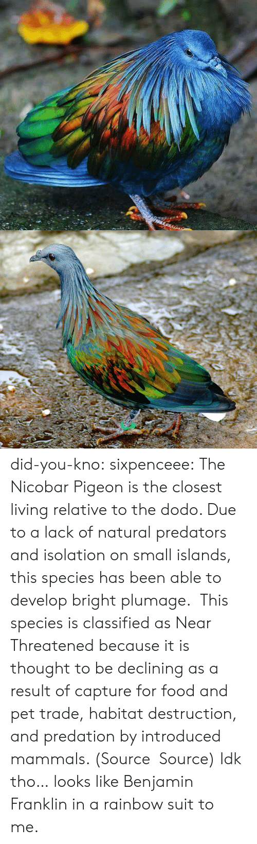 Benjamin Franklin: did-you-kno:  sixpenceee:  The Nicobar Pigeon is the closest living relative to the dodo. Due to a lack of natural predators and isolation on small islands, this species has been able to develop bright plumage.  This species is classified as Near Threatened because it is thought to be declining as a result of capture for food and pet trade, habitat destruction, and predation by introduced mammals. (Source  Source)  Idk tho… looks like Benjamin Franklin in a rainbow suit to me.