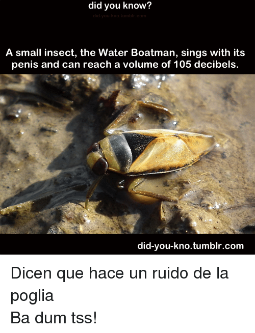 decibels: did you know?  A small insect, the Water Boatman, sings with its  penis and can reach a volume of 105 decibels.  did-you-kno.tumblr.com <p>Dicen que hace un ruido de la poglia</p> <p>Ba dum tss!</p>