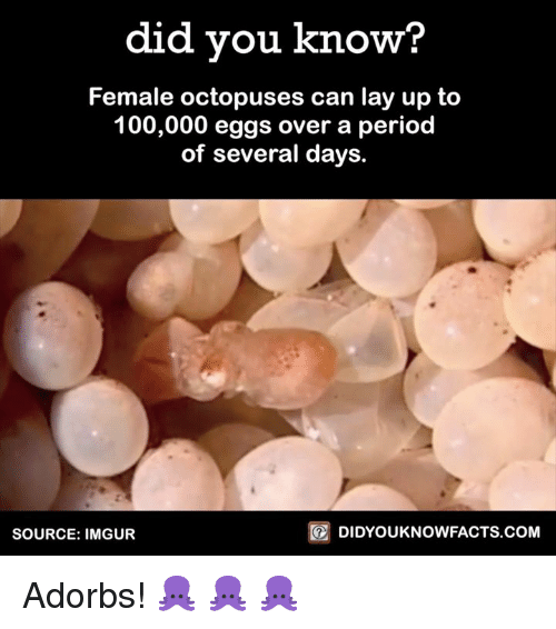 Dank, Lay Up, and Lay's: did you know?  Female octopuses can lay up to  100,000 eggs over a period  of several days.  DIDYOUKNOWFACTS.COM  SOURCE: IMGUR Adorbs! 🐙 🐙 🐙