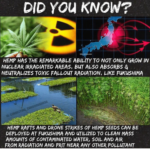 fukushima: DID YOU KNOW?  HEMP HAS THE REMARKABLE ABILITY TO NOT ONLY GROW IN  NUCLEAR IRRADIATED AREAS, BuT ALSO ABSORBS  NEUTRALIZES TOXIC FALLOUT RADIATION, LIKE FuKusHIMA  cousciousNES  HEMP RAFTS AND DRONE STRIKES OF HEMP SEEDS CAN BE  DEPLOYED AT FukusHIMA AND uTILIZED TO CLEAN MASS  AMOUNTS OF CONTAMINATED WATER, SOIL AND AIR  FROM RADIATION AND PRIT NEAR ANY OTHER POLLuTANT