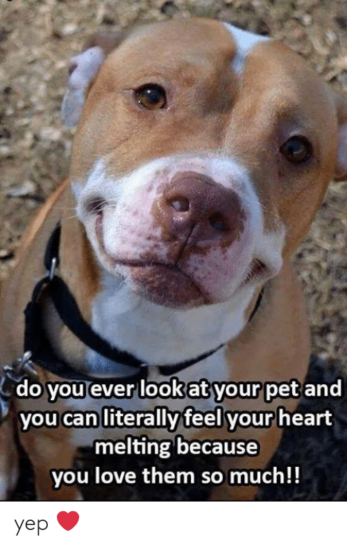 Love, Memes, and Heart: do you ever lookat your pet and  you can literally feel your heart  melting because  you love them so much!! yep ❤️