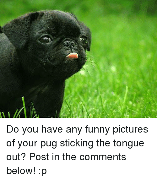 Funnies Pictures: Do you have any funny pictures of your pug sticking the tongue out? Post in the comments below! :p
