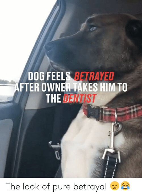 betrayed: DOG FEELS BETRAYED  AFTER OWNER TAKES HIM TO  THE DENTIST The look of pure betrayal 😞😂