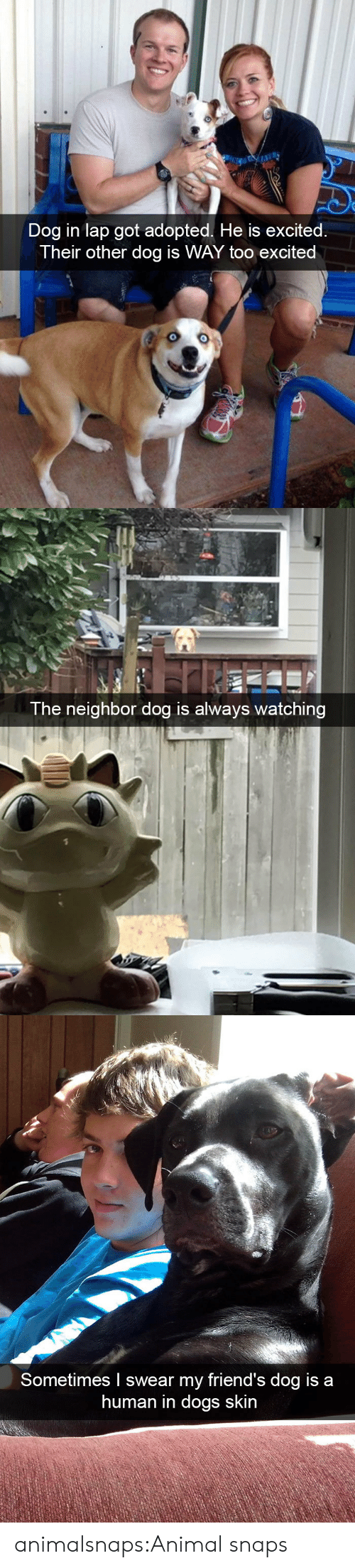 Dogs, Friends, and Target: Dog in lap got adopted. He is excited.  Their other dog is WAY too excited   The neighbor dog is always watching   Sometimes I swear my friend's dog is a  human in dogs skin animalsnaps:Animal snaps