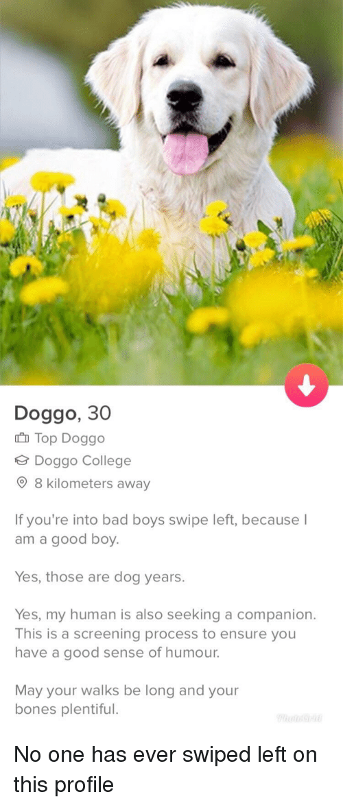 dog years: Doggo, 30  Top Doggo  Doggo College  9 8 kilometers away  If you're into bad boys swipe left, because  am a good boy.  Yes, those are dog years.  Yes, my human is also seeking a companion.  This is a screening process to ensure you  have a good sense of humour.  May your walks be long and your  bones plentiful. No one has ever swiped left on this profile