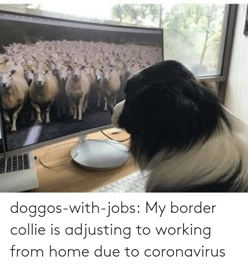 From: doggos-with-jobs:  My border collie is adjusting to working from home due to coronavirus
