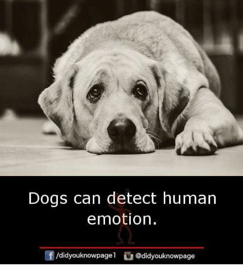Detectives: Dogs can detect human  emotion.  /didyouknowpagel @didyouknowpage
