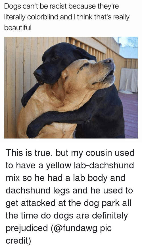 dachshunds: Dogs can't be racist because they're  literally colorblind and l think that's really  beautiful This is true, but my cousin used to have a yellow lab-dachshund mix so he had a lab body and dachshund legs and he used to get attacked at the dog park all the time do dogs are definitely prejudiced (@fundawg pic credit)