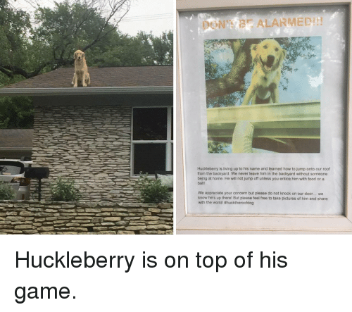 Jump Off: DON'T BE ALARMED!!!  Huckleberry is living up to his name and learned how to jump onto our roof  from the backyard. We never leave him in the backyard without someone  being at home. He will not jump off unless you entice him with food or a  ball  We appreciate your concern but please do not knock on our door.. we  know he's up there! But please feel free to take pictures of him and share  with the world! Huckleberry is on top of his game.