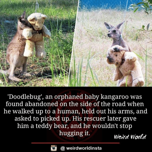 Memes, Weird, and Bear: 'Doodlebug', an orphaned baby kangaroo was  found abandoned on the side of the road when  he walked up to a human, held out his arms, and  asked to picked up. His rescuer later gave  him a teddy bear, and he wouldn't stop  hugging it.  Weird World  a weirdworldinsta