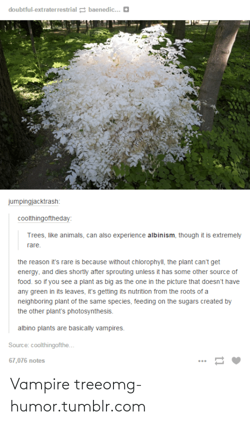 albinism: doubtful-extraterrestrial 2 baenedic... E  jumpingjacktrash:  coolthingoftheday:  Trees, like animals, can also experience albinism, though it is extremely  rare.  the reason it's rare is because without chlorophyll, the plant can't get  energy, and dies shortly after sprouting unless it has some other source of  food. so if you see a plant as big as the one in the picture that doesn't have  any green in its leaves, it's getting its nutrition from the roots of a  neighboring plant of the same species, feeding on the sugars created  the other plant's photosynthesis.  albino plants are basically vampires.  Source: coolthingofthe...  67,076 notes Vampire treeomg-humor.tumblr.com