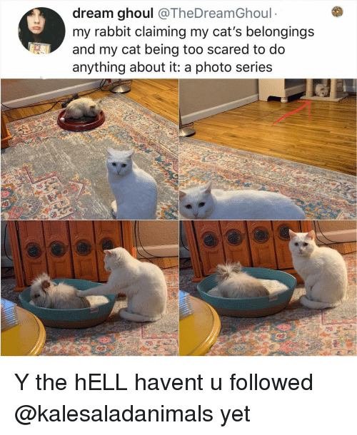 Cats, Memes, and Rabbit: dream ghoul @TheDreamGhoul  my rabbit claiming my cat's belongings  and my cat being too scared to do  anything about it: a photo series Y the hELL havent u followed @kalesaladanimals yet