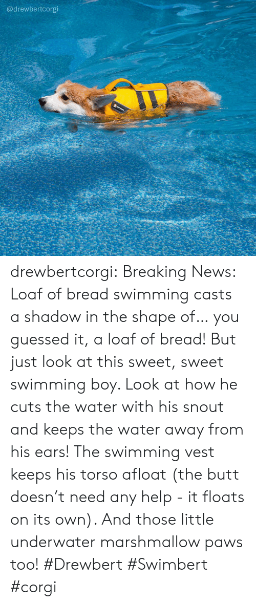 Shape Of You: @drewbertcorgi drewbertcorgi: Breaking News: Loaf of bread swimming casts a shadow in the shape of… you guessed it, a loaf of bread!  But just look at this sweet, sweet swimming boy. Look at how he cuts the water with his snout and keeps the water away from his ears! The swimming vest keeps his torso afloat (the butt doesn't need any help - it floats on its own). And those little underwater marshmallow paws too!  #Drewbert #Swimbert #corgi