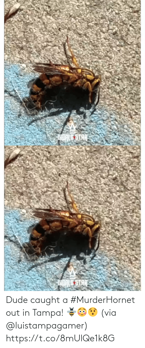 dude: Dude caught a #MurderHornet out in Tampa! 🐝😳😯 (via @luistampagamer) https://t.co/8mUlQe1k8G