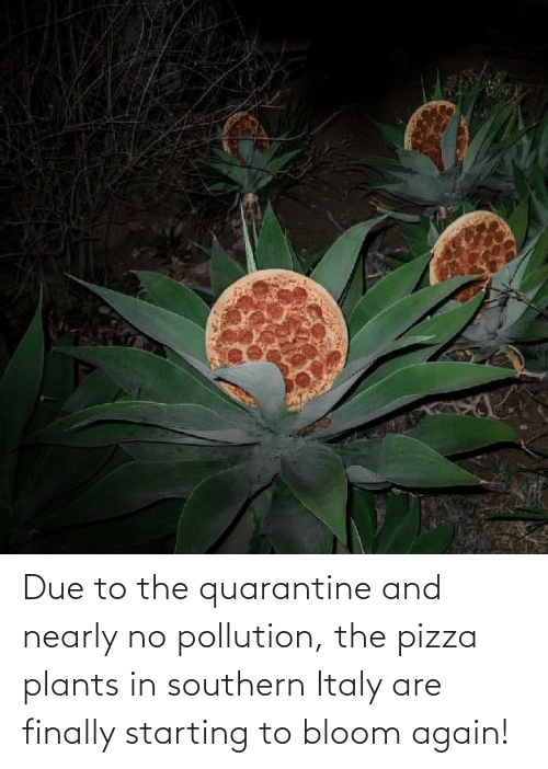 Nearly: Due to the quarantine and nearly no pollution, the pizza plants in southern Italy are finally starting to bloom again!