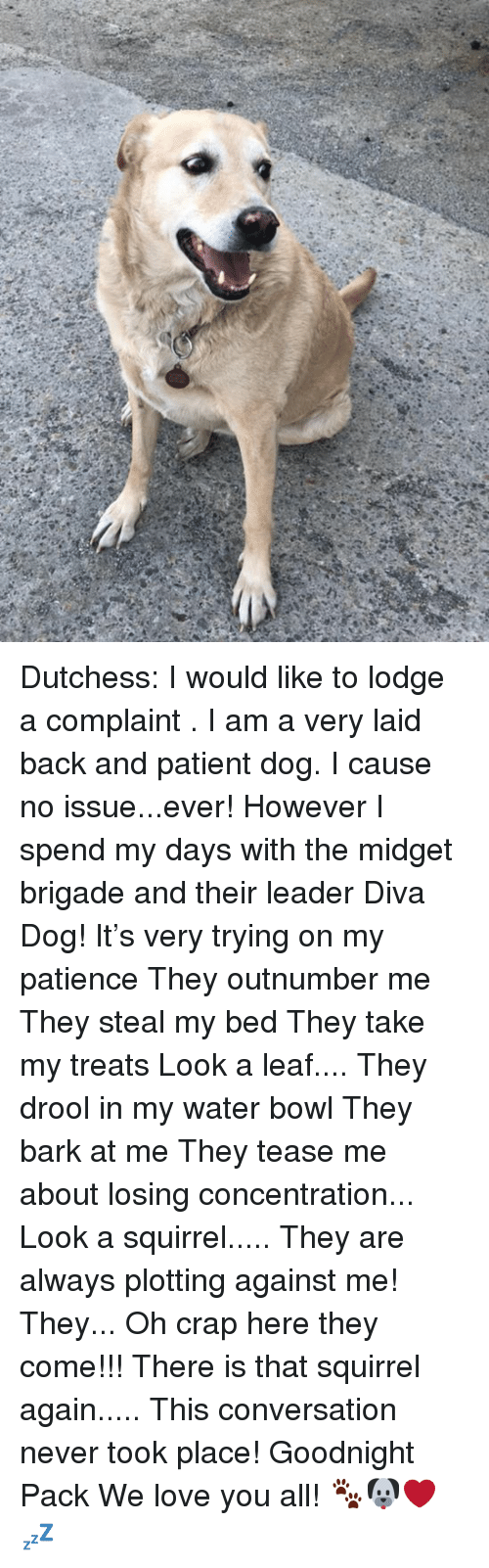 Love, Memes, and Patience: Dutchess: I would like to lodge a complaint . I am a very laid back and patient dog. I cause no issue...ever! However I spend my days with the midget brigade and their leader Diva Dog! It's very trying on my patience  They outnumber me They steal my bed They take my treats Look a leaf.... They drool in my water bowl They bark at me They tease me about losing concentration... Look a squirrel..... They are always plotting against me!  They... Oh crap here they come!!! There is that squirrel again..... This conversation never took place!  Goodnight Pack  We love you all! 🐾🐶❤️💤